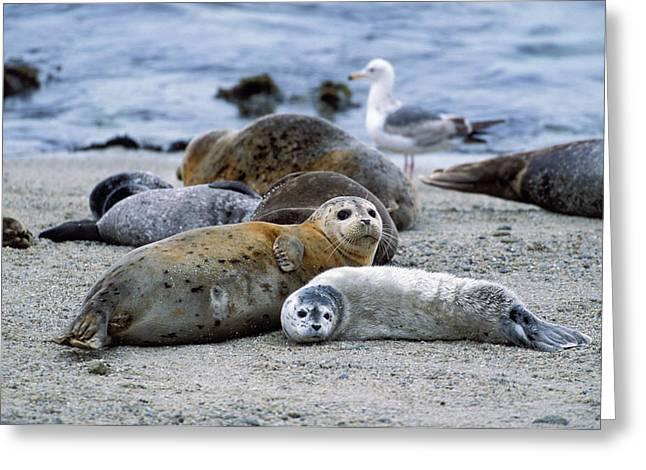 Moss Landing Harbor Greeting Cards - Harbor Seal Phoca Vitulina Mother Greeting Card by Suzi Eszterhas