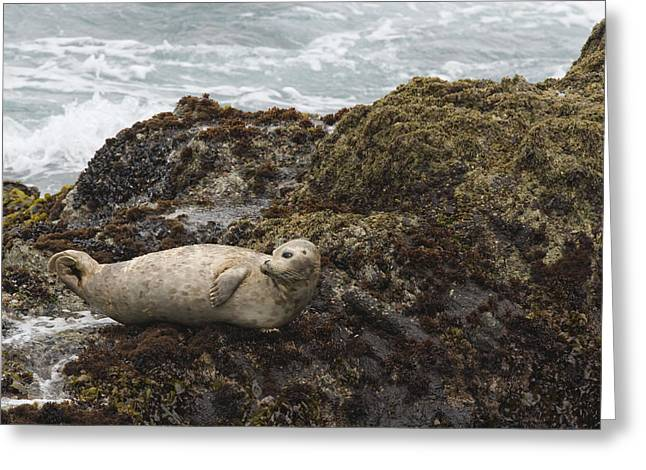 Point Lobos State Greeting Cards - Harbor Seal  Point Lobos State Reserve Greeting Card by Sebastian Kennerknecht