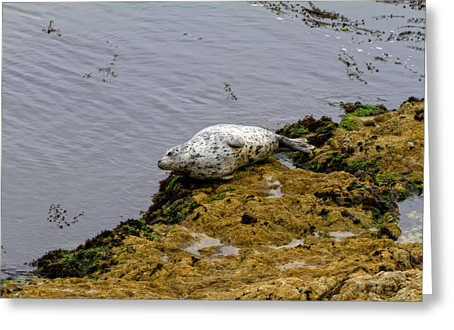California Ocean Photography Paintings Greeting Cards - Harbor Seal Taking a Nap Greeting Card by Sharon Nummer
