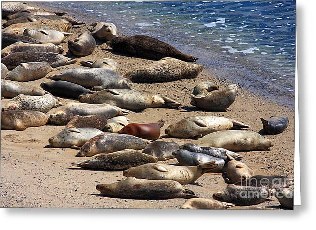Half Moon Bay Greeting Cards - Harbor Seals Sunbathing On The Beach . 40D7553 Greeting Card by Wingsdomain Art and Photography