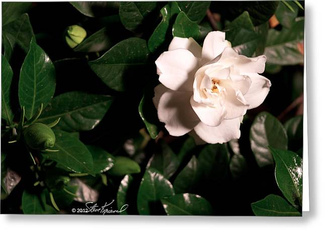 Steve Knievel Greeting Cards - Hard Light Gardenia at Night Greeting Card by Steve Knievel