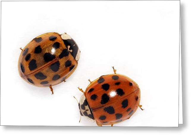 Harlequin Ladybirds Greeting Card by Sheila Terry