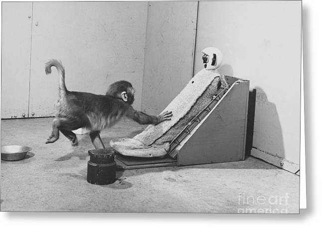 Psychology Photographs Greeting Cards - Harlow Monkey Experiment Greeting Card by Science Source