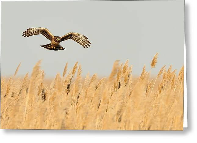 Hovering Greeting Cards - Harrier Oer Amber Waves Greeting Card by William Jobes