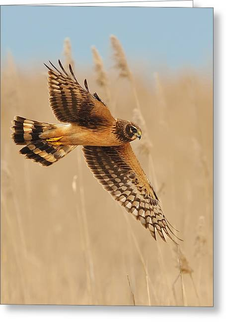 Hunting Bird Greeting Cards - Harrier Over Golden Grass Greeting Card by William Jobes