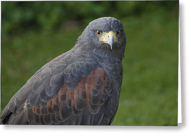 Bambers Greeting Cards - Harris Hawk Greeting Card by Clare Bambers