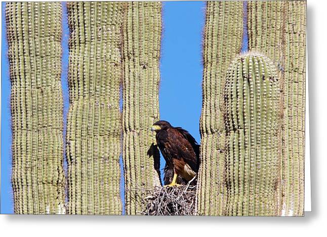 Ss Unites States Greeting Cards - Harriss Hawk Greeting Card by Bob Gibbons