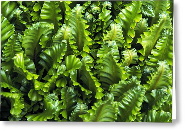 Harts Greeting Cards - Harts Tongue Fern Greeting Card by Archie Young