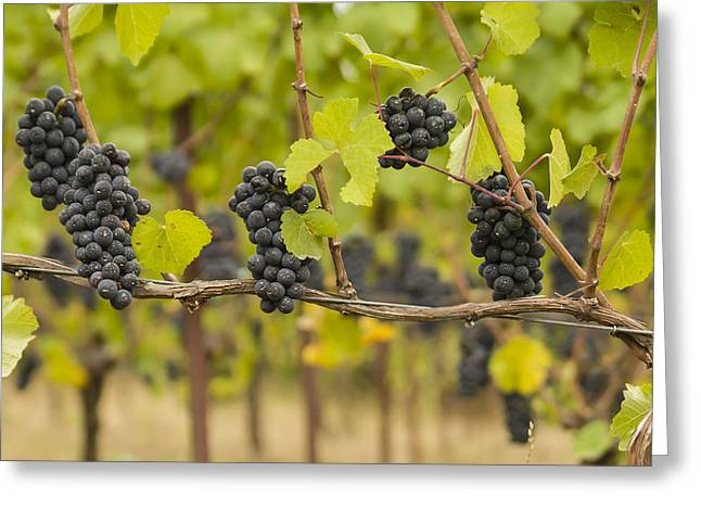 Pinot Noir Greeting Cards - Harvest Greeting Card by Jean Noren