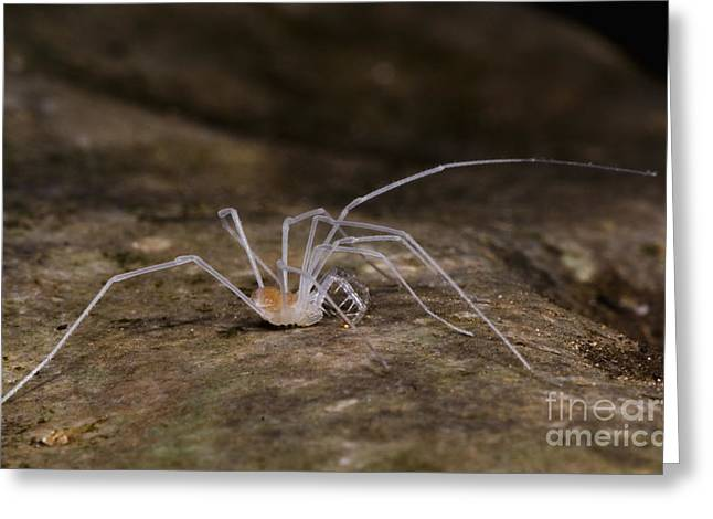 Subterranean Fauna Greeting Cards - Harvestman Greeting Card by Dante Fenolio