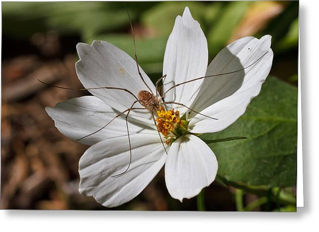 Harvestman Greeting Card by Mitch Shindelbower