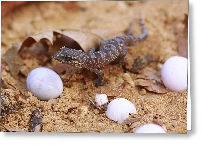 Mideast Greeting Cards - Hatching Gecko Greeting Card by Photostock-israel