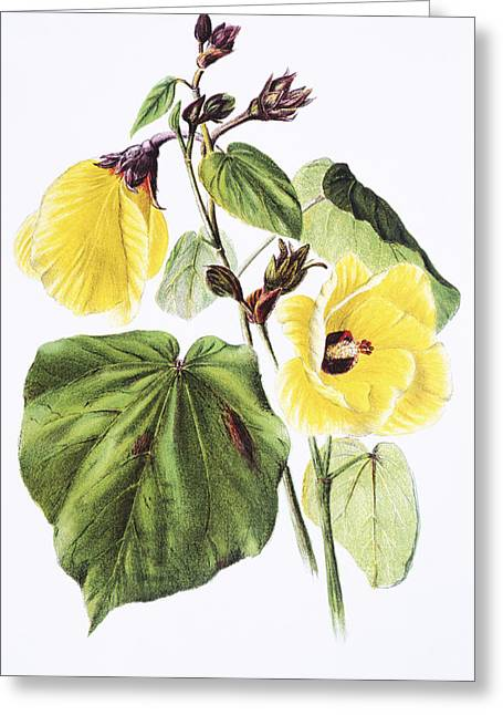 Haus Paintings Greeting Cards - Hau Flower Art Greeting Card by Hawaiian Legacy Archive - Printscapes