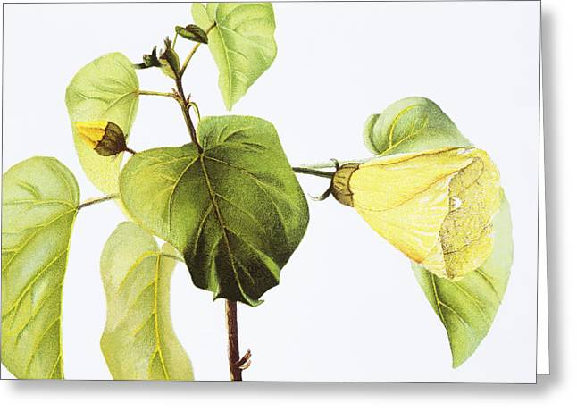 Haus Paintings Greeting Cards - Hau Plant Art Greeting Card by Hawaiian Legacy Archive - Printscapes