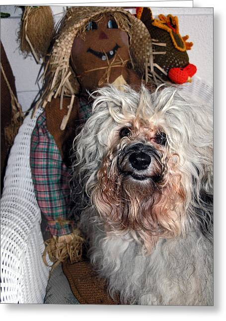 Cute Havanese Greeting Cards - Havanese cutie Greeting Card by Sally Weigand