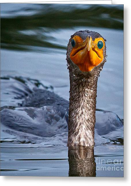 Phalacrocorax Auritus Greeting Cards - Have you seen a fish around here Greeting Card by Carl Jackson