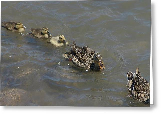 Water Fowl Photographs Greeting Cards - Having Your Duckies In A Row  Greeting Card by Jeff  Swan