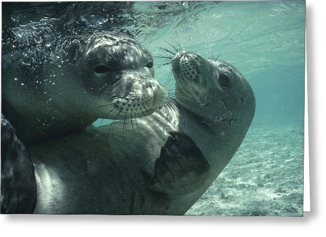Critically Endangered Species Greeting Cards - Hawaiian Monk Seal Monachus Greeting Card by Flip Nicklin