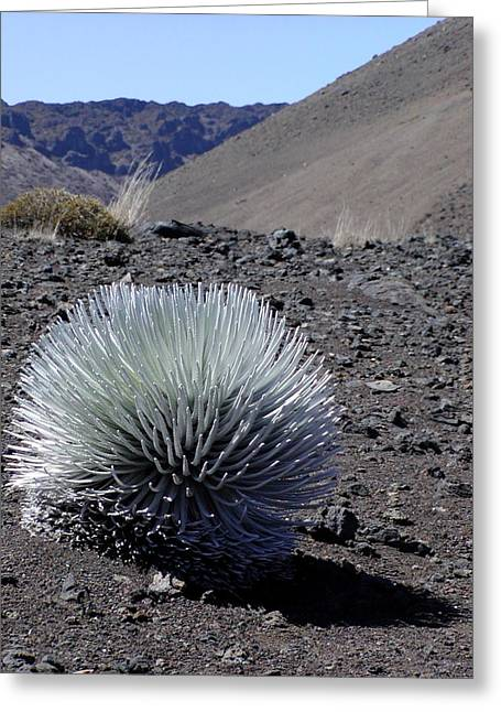 Craters Greeting Cards - Hawaiian Silversword Plant Greeting Card by Dustin K Ryan