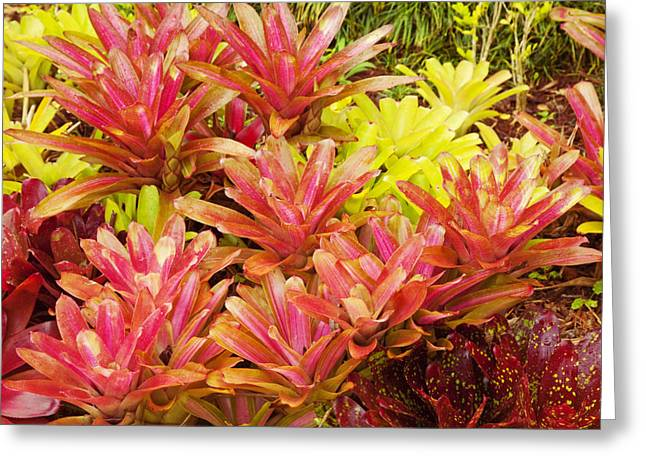 Bromeliad Greeting Cards - Hawaiian Volcano Plants Greeting Card by Ron Dahlquist - Printscapes