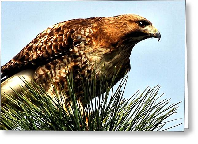 Pond In Park Greeting Cards - Hawk Close-up Greeting Card by Don Mann