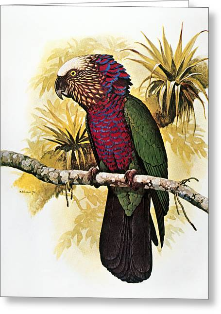 Amazon Parrot Greeting Cards - Hawk-headed Parrot Greeting Card by Granger