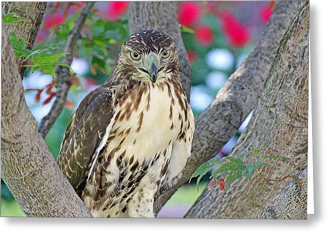 Becky Greeting Cards - Hawk in tree 2 Greeting Card by Becky Lodes