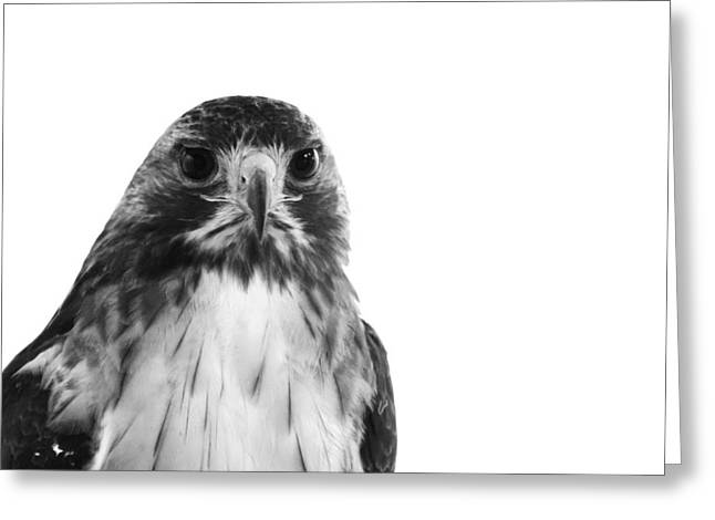 Decor Photography Greeting Cards - Hawk on White Background Greeting Card by Stephanie McDowell