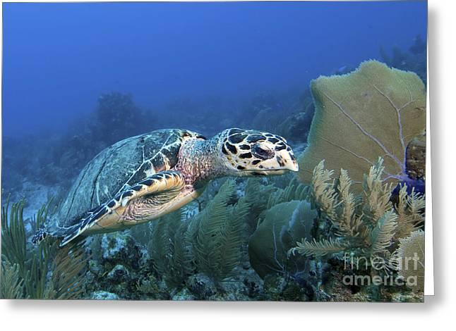 Undersea Photography Greeting Cards - Hawksbill Sea Turtle On Caribbean Reef Greeting Card by Karen Doody