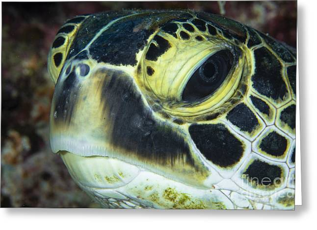 Hawksbill Sea Turtle Greeting Cards - Hawksbill Sea Turtle Portrait Greeting Card by Todd Winner