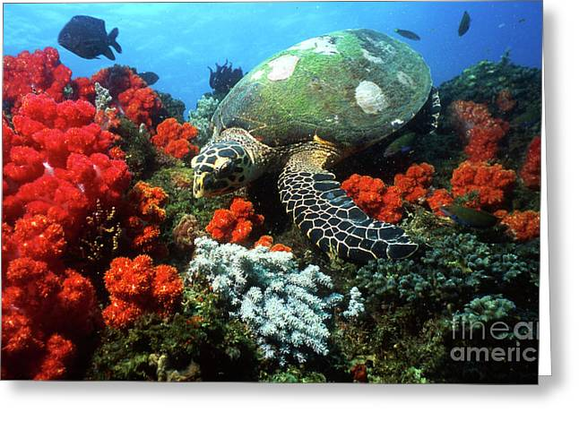 Sipadan Greeting Cards - Hawksbill Sea Turtle Swimming Greeting Card by Beverly Factor