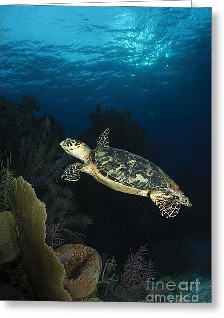 Hawksbill Sea Turtle Greeting Cards - Hawksbill Sea Turtle Swimming Greeting Card by Todd Winner