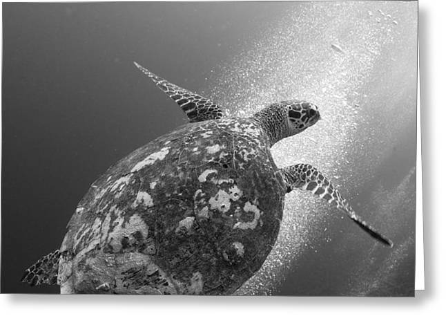 Hawksbill Turtle Ascending Greeting Card by Steve Jones