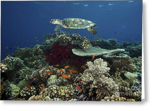 Undersea Photography Greeting Cards - Hawksbill Turtle Glides Greeting Card by Terry Moore