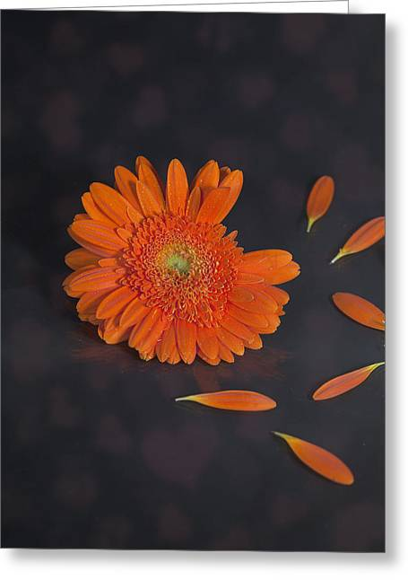 Gerbera Greeting Cards - He Loves Me... Greeting Card by Joana Kruse