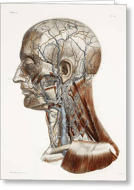 Hand-colored Lithograph Greeting Cards - Head And Neck Anatomy, Historical Artwork Greeting Card by