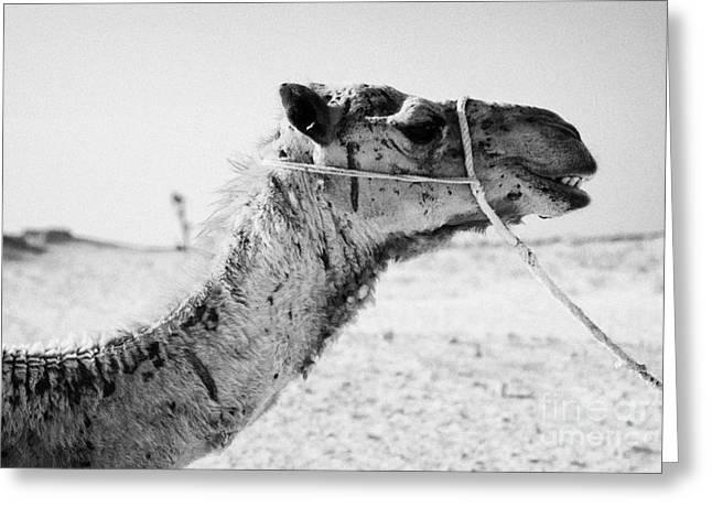 head of a dromedary camel being led through the sahara desert at Douz Tunisia Greeting Card by Joe Fox
