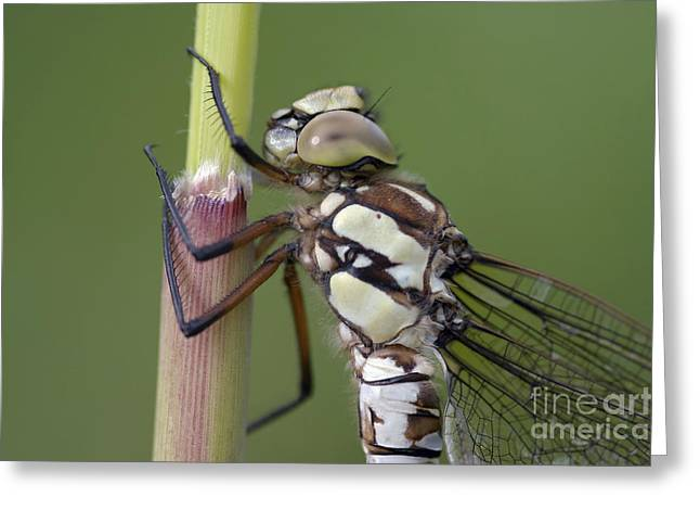 Damsel Fly Greeting Cards - Head Of The Dragonfly Greeting Card by Michal Boubin