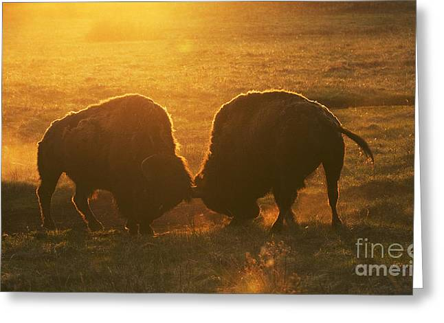 Buffalo Greeting Cards - Head To Head Greeting Card by Bob Christopher