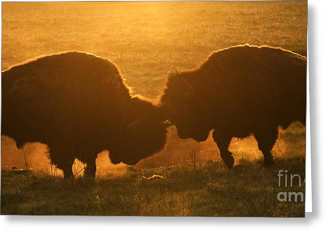Buffalo Greeting Cards - Head To Head Combat Greeting Card by Bob Christopher