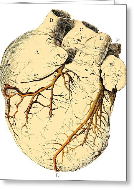 Circulation Greeting Cards - Heart Anatomy, 18th Century Greeting Card by