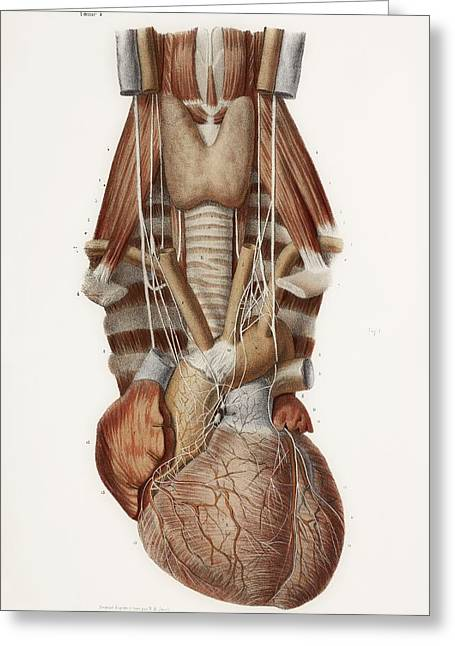 Hand-colored Lithograph Greeting Cards - Heart And Neck, Historical Illustration Greeting Card by