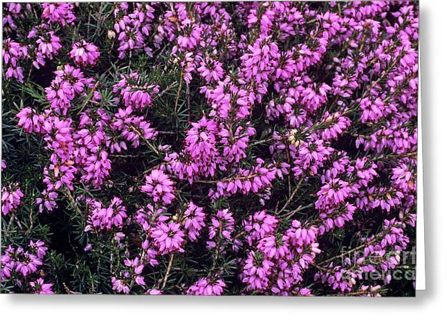 Carnea Greeting Cards - Heather accent Flowers Greeting Card by Adrian Thomas