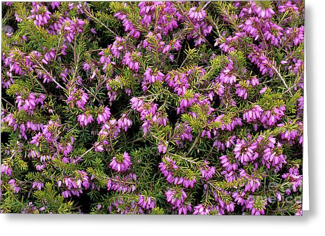Carnea Greeting Cards - Heather altadena Flowers Greeting Card by Adrian Thomas