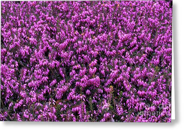 Carnea Greeting Cards - Heather davids Seedling Flowers Greeting Card by Adrian Thomas