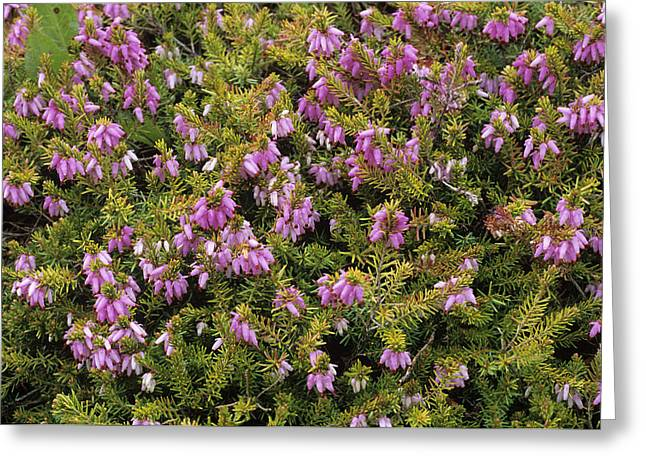 Carnea Greeting Cards - Heather foxhollow Flowers Greeting Card by Adrian Thomas