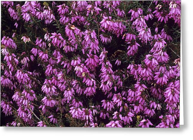 Carnea Greeting Cards - Heather pink Spangles Flowers Greeting Card by Adrian Thomas