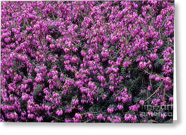 Carnea Greeting Cards - Heather queen Mary Flowers Greeting Card by Adrian Thomas