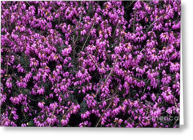 Carnea Greeting Cards - Heather schatzalp Flowers Greeting Card by Adrian Thomas