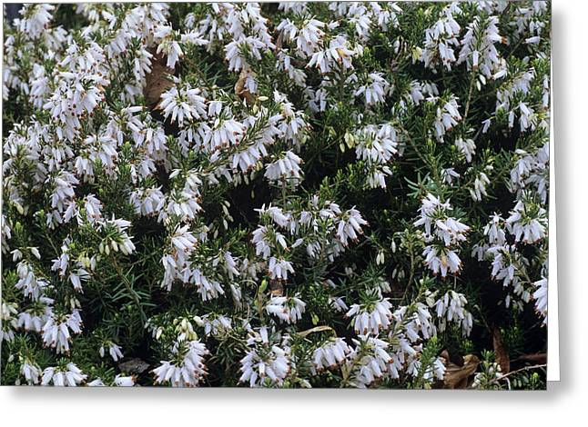 Carnea Greeting Cards - Heather springwood White Flowers Greeting Card by Adrian Thomas